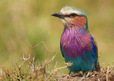 lilac breasted roller tarangire